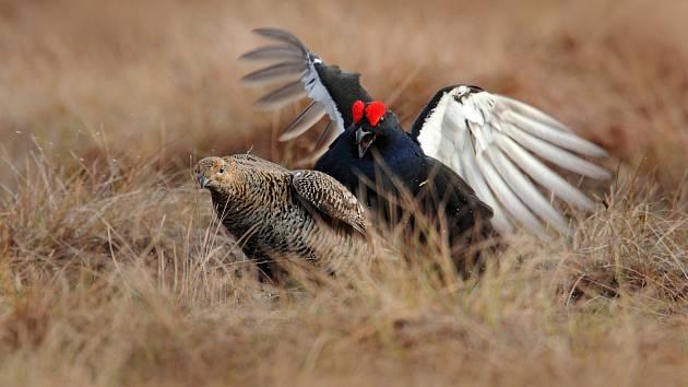 Rok tetřívka. Krkonošský národní park věnuje letošek krásnému ptačímu druhu, který čelí hrozbě vyhynutí.