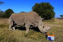Nosorožec Sudán v Africe