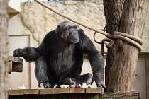 Jaro nesměle klepe na dveře a šimpanzi z toho mají nesmírnou radost. Tento týden ale zahájili svou oblíbenou rutinu: oběd na čerstvém vzduchu.