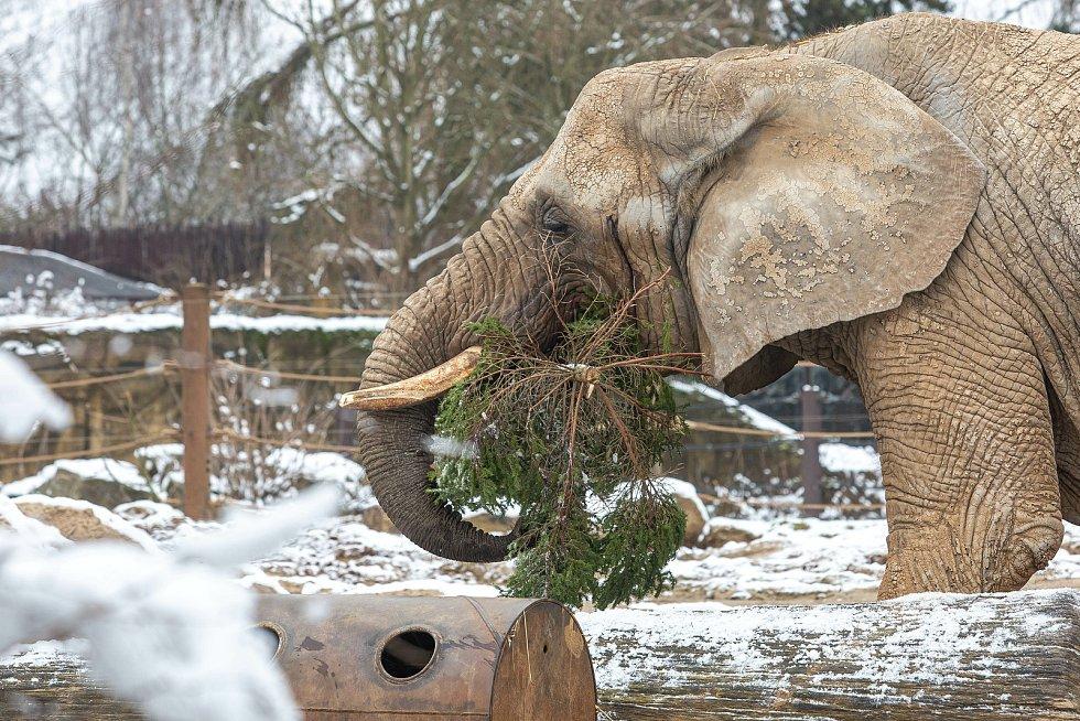 Slonice v Safari Parku Dvůr Králové si pochutnávají na neprodaných vánočních stromcích.
