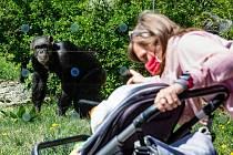Safari Park Dvůr Králové nad Labem se otevřel v pondělí 27. dubna návštěvníkům. První den přišlo do areálu 410 lidí.