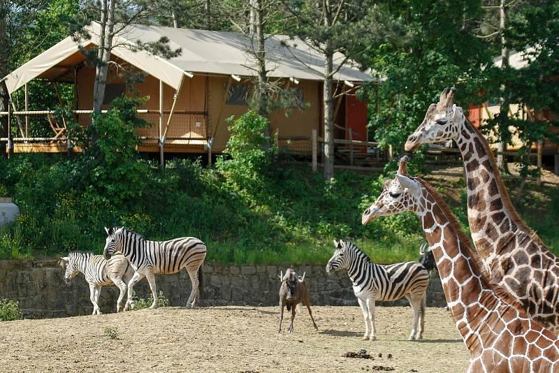 Lidé se mohou ubytovat v Safari kempu v bezprostřední blízkosti zvířat.