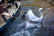 Ve dvorské zoo odychtli 25 pelikánů žijících na jezírku v safari.
