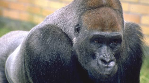 Gorilí samec Tadao uhynul v Safari Parku Dvůr Králové.