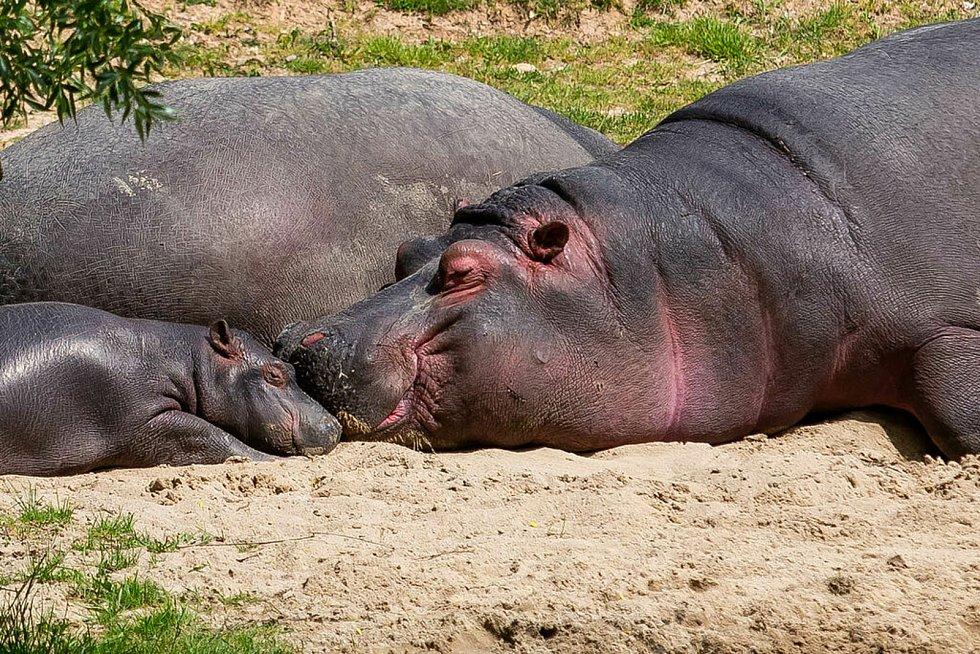 Safari Park Dvůr Králové loni zaznamenal rekordní návštěvnost za posledních deset let a obhájil pozici nejvyhledávanějšího turistického cíle Královéhradeckého kraje.