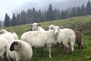 Na jedné z nejvýše položených luk v České republice, u Moravské Boudy, se prohánějí ovce v nadmořské výšce 1200 metrů.