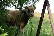 8c69e096236 Volný pohyb zvířat a týrání v hospodářských chovech nejprve v Bítouchově a  nyní v Rybnici