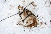 Závod psích spřežení Ledová jízda.