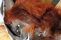 Orangutanka Dona