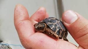 Mládě želvy paprsčité se narodilo v Safari Parku Dvůr Králové