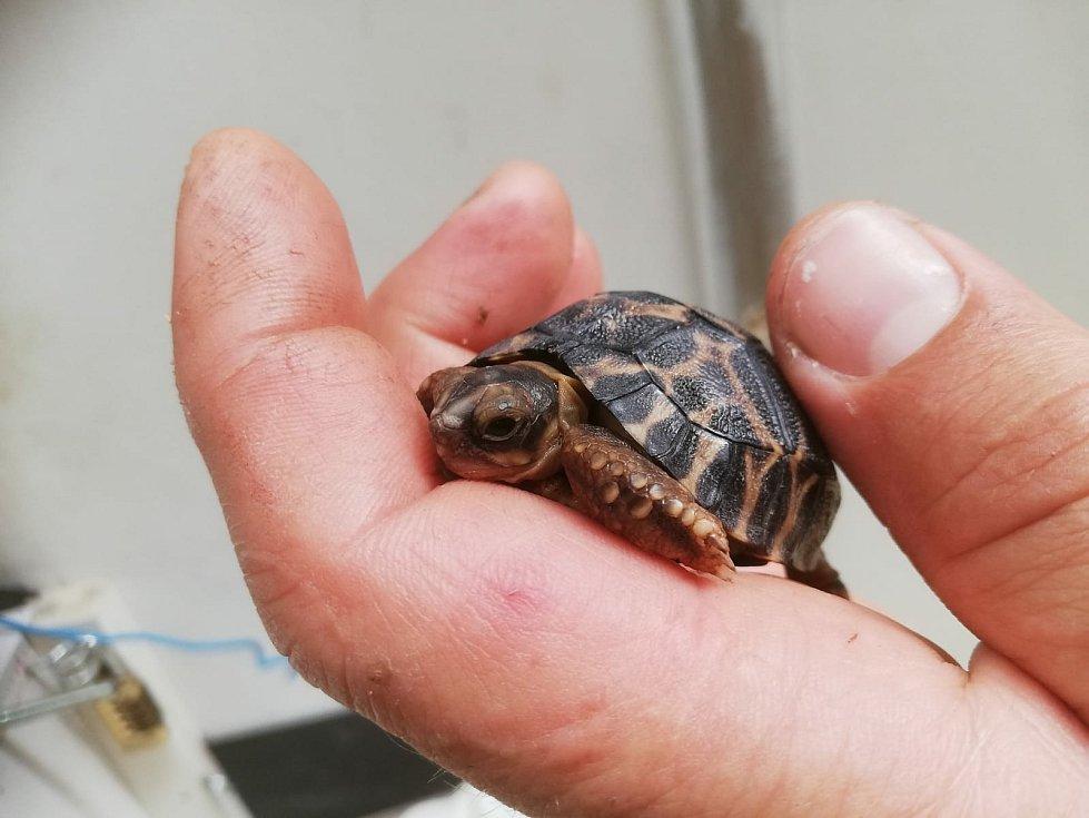 Mládě želvy paprsčité, které se narodilo v Safari Parku Dvůr Králové.
