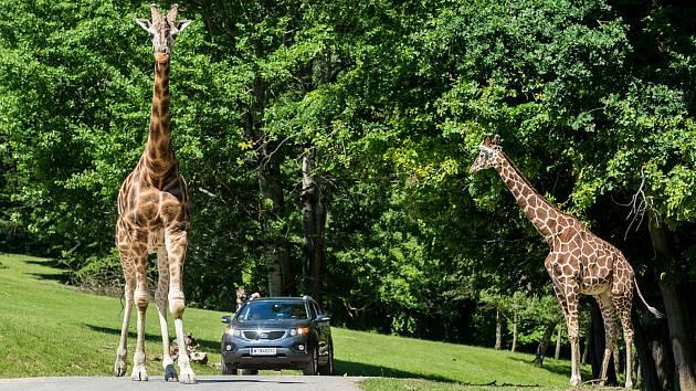 Veliký zájem je ve Dvoře Králové o cestování vozy v safari. Vlastních aut projelo v bezprostřední blízkosti afrických zvířat v červenci 7179.
