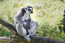 Přírůstky primátů. Ve Dvoře Králové se narodila dvojčata lemurů.