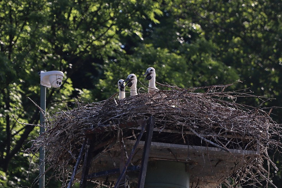 Čapí mláďata hnízdí v Mladých Bukách na dvanáct metrů vysokém sloupu. S krmením tam za nimi třikrát denně leze Šándor Havrán.
