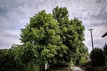 PAMÁTNÉ LÍPĚ v Tatobitech u Turnova drží palce celá obec, aby se stala Stromem roku 2015. Svými hlasy může pomoci i veřejnost.