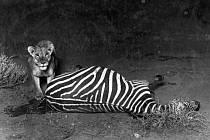 V zoo jsou k vidění jedny z nejstarších fotografií africké divočiny