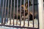 Ze dvorského safari parku byli ve čtvrtek odesláni čtyři psi hyenoví do australské zoo v Sydney. Jedná se o dosud nejdelší transport zvířat ze Dvora Králové do jiné zoologické zahrady. Čtveřice psů urazí ze Dvora Králové do Austrálie 16 700 km.