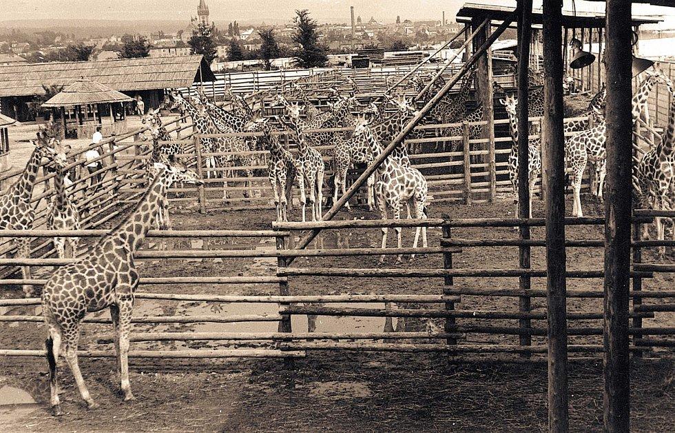 Kopie afrického kempu postavená v zoo si po několik sezón letního provozu na návštěvnost rozhodně nemohla stěžovat. Součástí bylo několik přístřešků k odpočinku návštěvníků a letní občerstvení. Dnes je na tomto místě pavilon goril a výběhy antilop.
