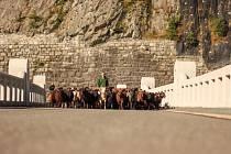Stádo beranů na cestě.