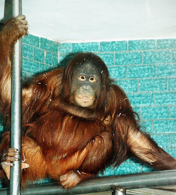 Nová orangutanice Satu v královédvorské zoo - sedí ve expozici