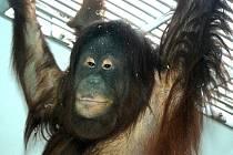 Nová orangutanice Satu v královédvorské zoo - visí v expozici