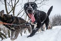 Závod psích spřežení Ledová jízda 2019.