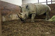 Příjezd nosorožce bílého do dvorského Safari Parku.