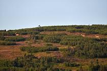 Jeleni se prohánějí po Studniční hoře v Krkonoších.