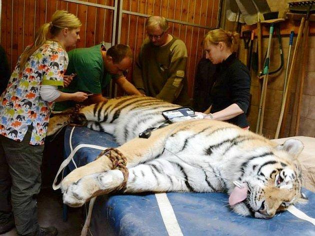 Když se doktor musí zblízka podívat tygrovi do oka