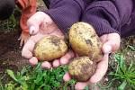 KLIENTKY Mostu k životu začaly na zahradě u azylového domu pěstovat brambory a zeleninu.