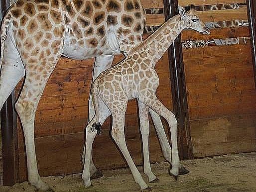 Ali je 215. žirafou narozenou ve Dvoře Králové.