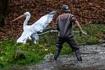 Odchyt pelikánů v safari v zoo Dvůr Králové nad Labem.