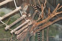 Otevření části opraveného Ptačího světa - výběh lemurů