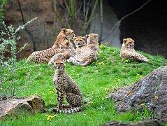 KRÁLOVÉDVORSKÉ zahradě se poprvé v historii povedlo odchovat paterčata gepardů. Ta se mají k světu.