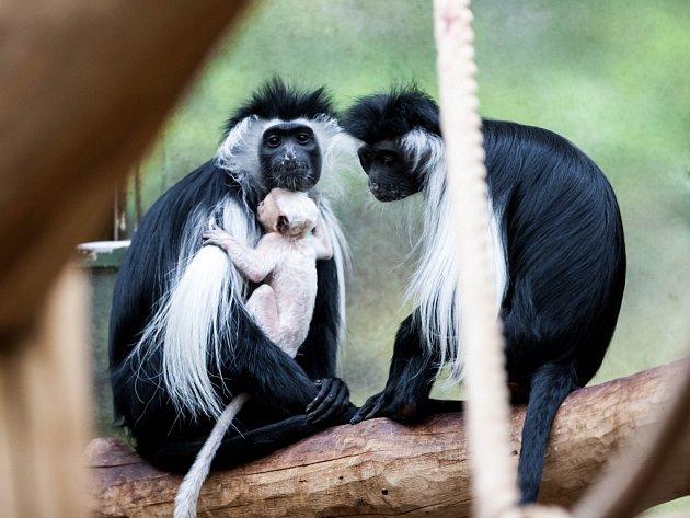 Guerézy angolské s mládětem v královédvorské zoologické zahradě.