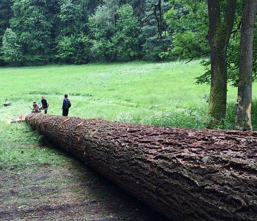 DOUGLASKA TISOLISTÁ ZPRKENNÉHO DOLU měřila 45metrů a zjejího kmene bylo 16,5metrů krychlových dřeva. Strom růst začal na počátku minulého století.