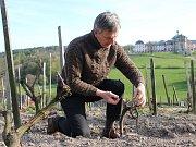 NEVYZPYTATELNÝ VINOHRAD. Zatímco vloni vinohrad Stanislava Rudolfského v Kuksu neodolal jarním mrazíkům, letos dost možná nabídne rekordní úrodu.