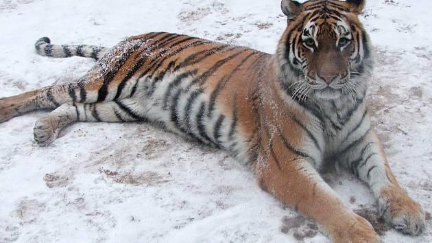 Zimu v královédvorské zoo si nejvíc užívají tygři