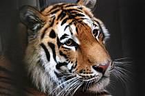 Tygr Boris