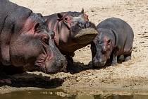 Až do konce hlavní sezony můžete během procházky v pěším safari vidět venku dvě dospělé samice Hulu a Monu, samce Mika a půlroční mládě.