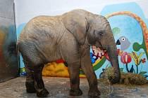 Sloní samec Kito v královédvorské ZOO