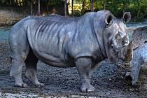Devětadvacetiletý samec nosorožce bílého Kusini před rokem v Německu proslul útokem na automobil ošetřovatelky.