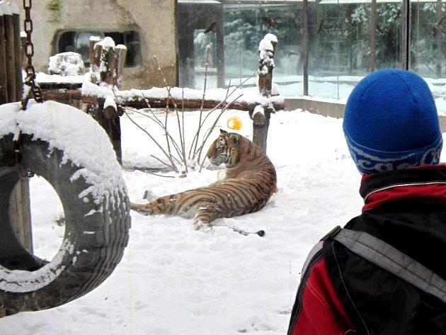 Tygři si ve dvorské zoo užívají na sněhu