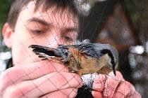 Zimní kroužkování ptactva u krmítka