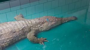 Safari Park Dvůr Králové získal vzácného krokodýla