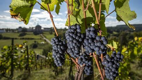 Na vinohradu v Kuksu na Trutnovsku začala 24. září 2021 sklizeň hroznů.
