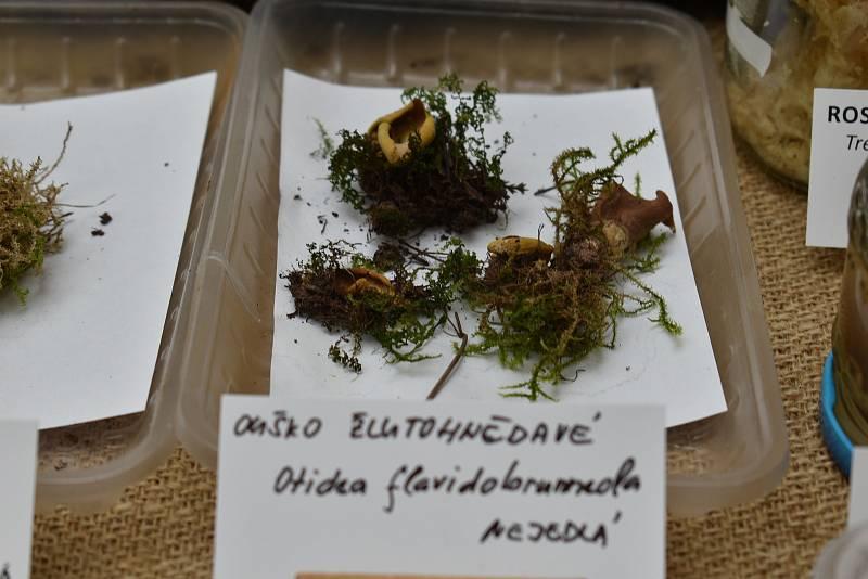 Ouško žlutohnědavé oficiálně roste na třech místech v Evropě, z nichž jedním z nich je Trutnovsko,