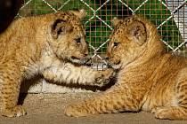 Samice lva berberského Khalila přivedla na svět další mláďata. Poprvé je návštěvníci mohou spatřit na vlastní oči ve výběhu lvů, kam chodí ráno.