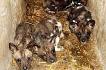 Štěňaťa psů hyenových v noře