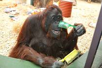 SAMICE ORANGUTANA ŽANETA je nejen hvězdou internetu, ale také miláčkem návštěvníků královédvorské zoo.